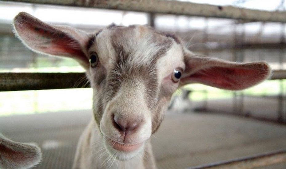Get up close and personal with hay dairies goats via facebook