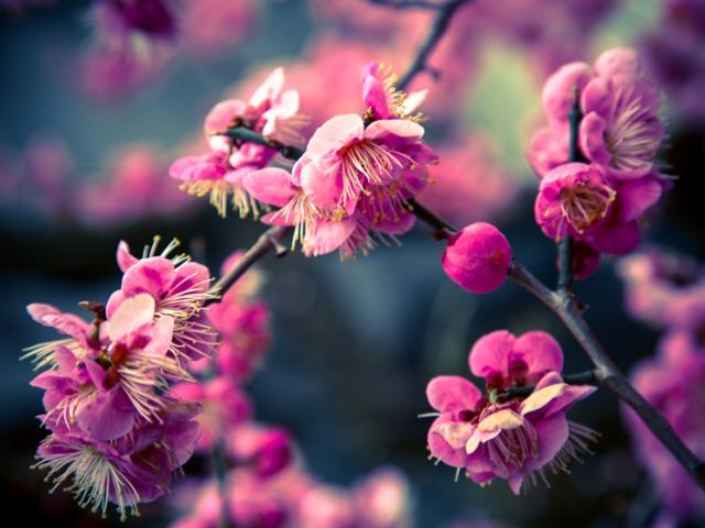 cherry blossom sakura | tokyo city guide