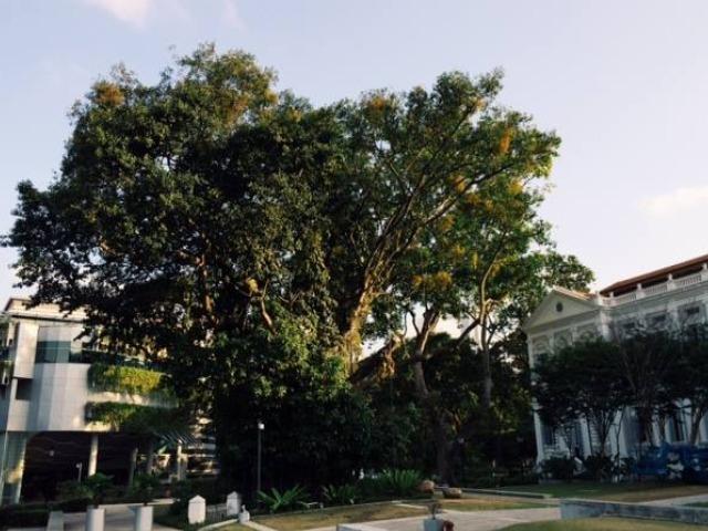 NMS.banyan.tree
