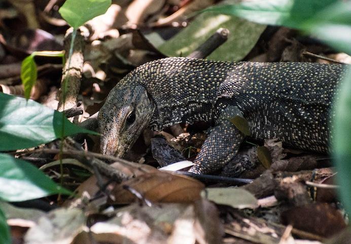 Monitor Lizard   Bukit Timah Nature Reserve