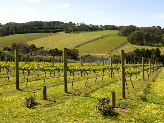 Melbourne - Young vines in the Morning Peninsula, Victoria, Australia