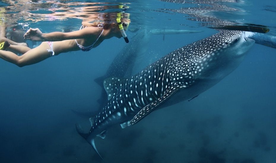 Snorkel with the whale sharks of Cenderawasih Bay in West Papua, Indonesia