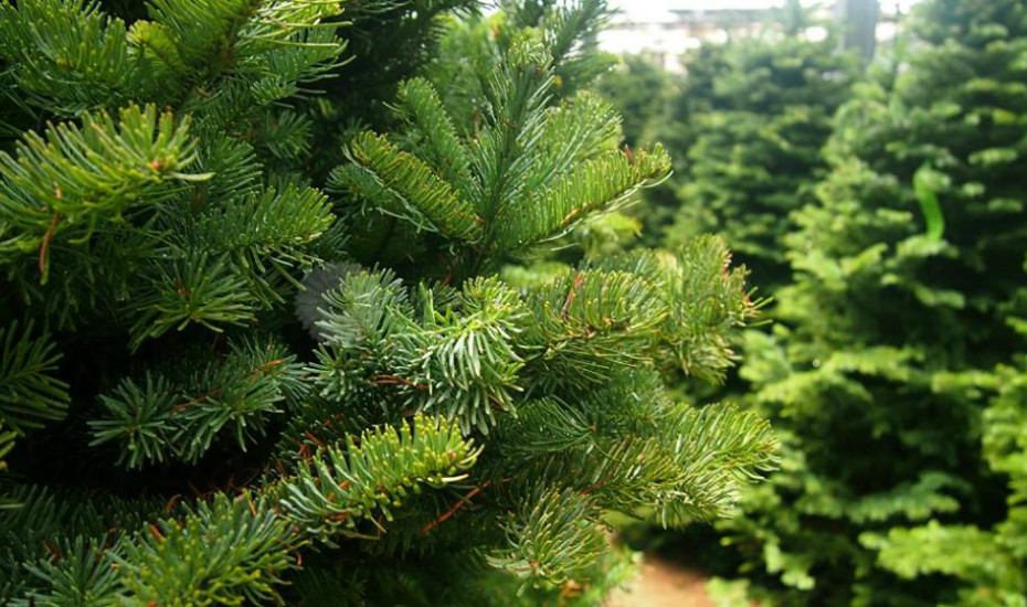 Christmas tree shopping in Singapore: Far East Flora