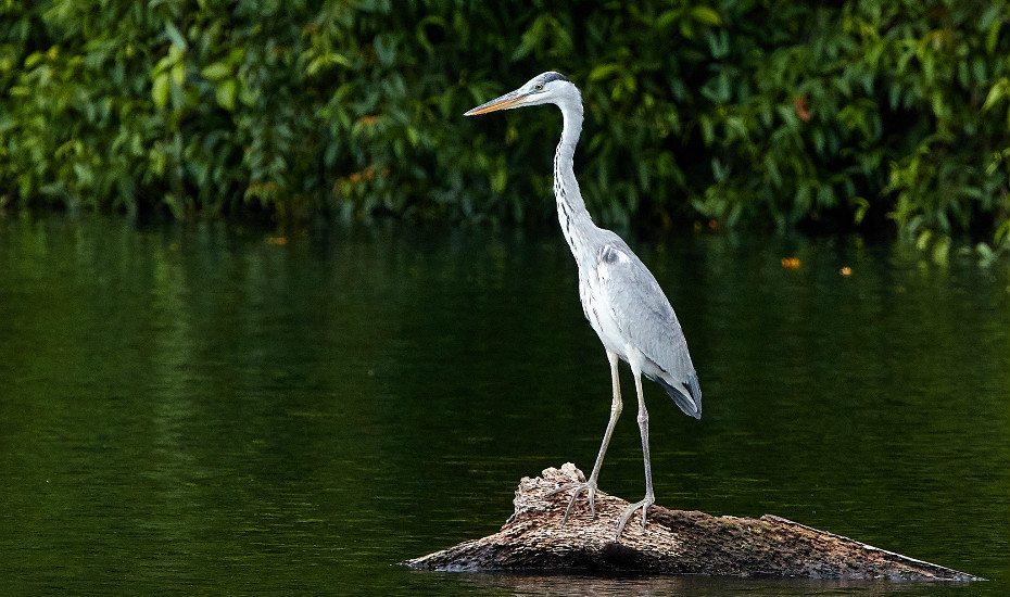 Grey heron in Pulau Ubin, Singapore