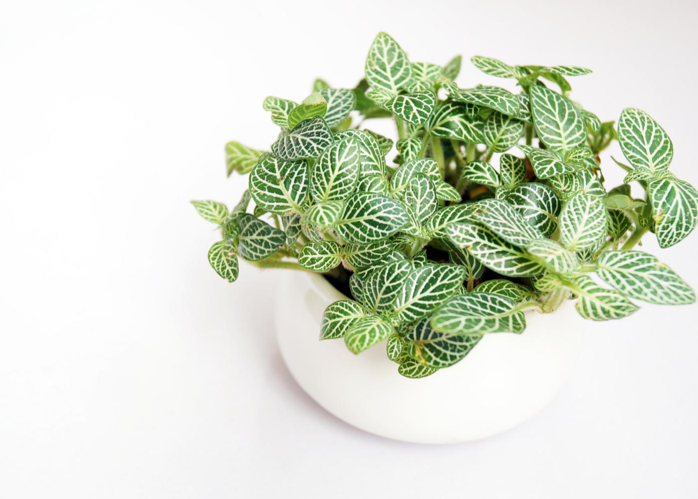 nerve-plant-indoors