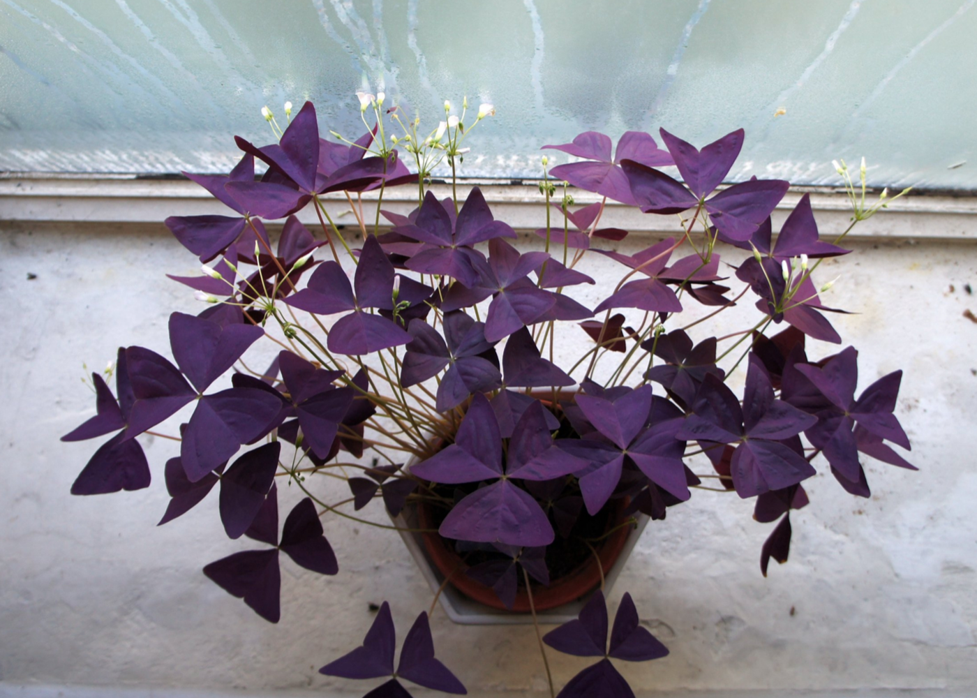 indoor plant Oxalis Triangularis