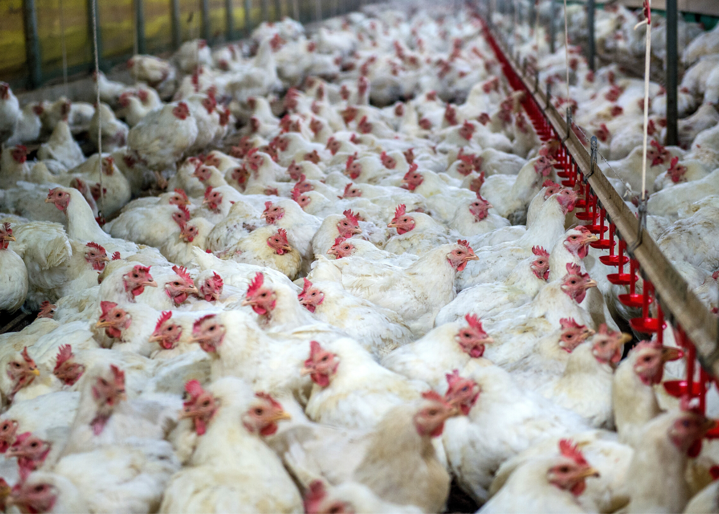 crammed chickens in factory farms