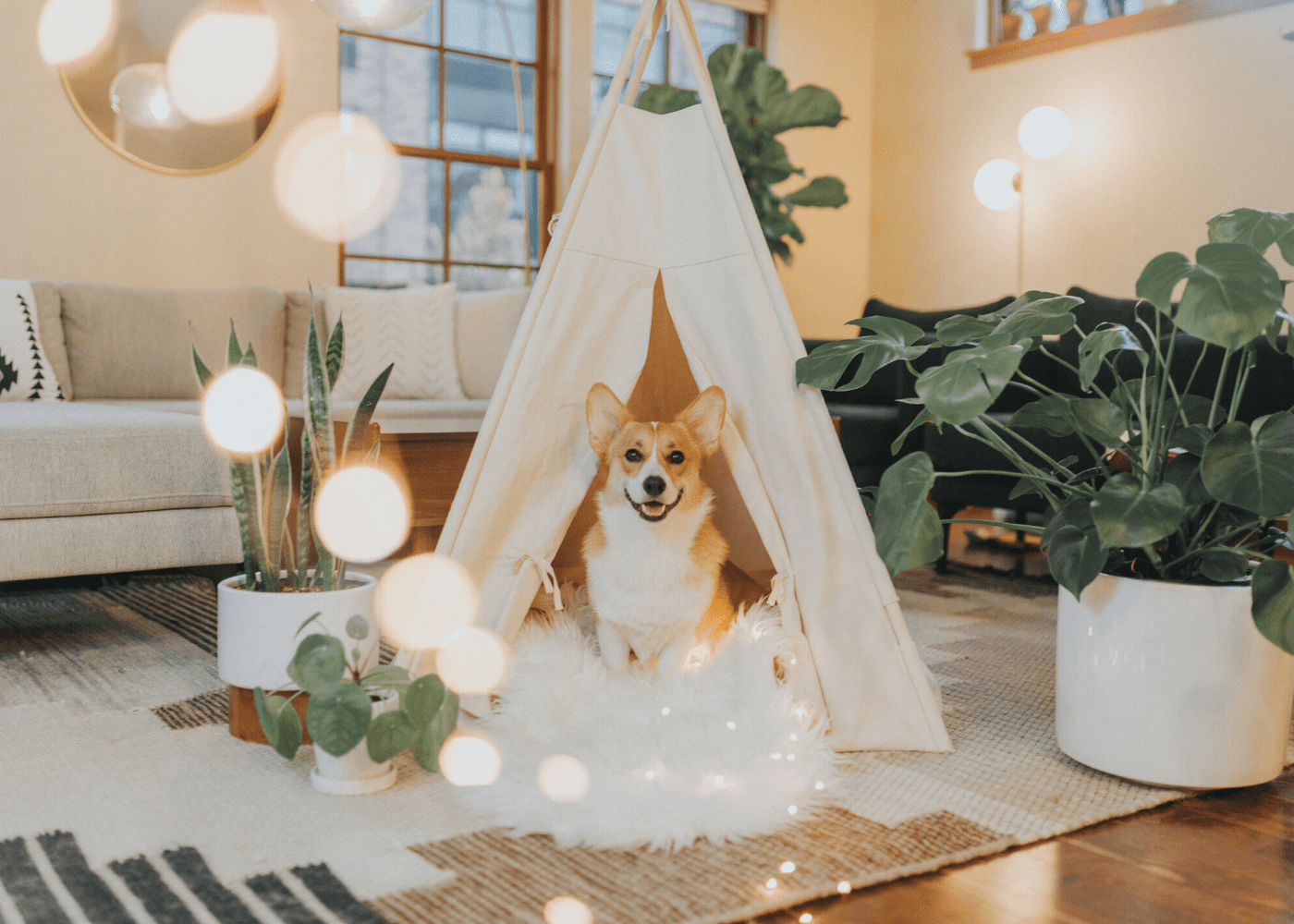 corgi in indoor tent with fairy lights