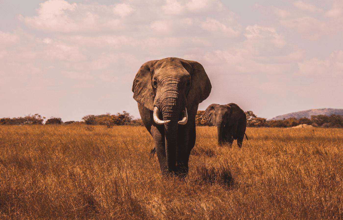 elephants | animal livestreams