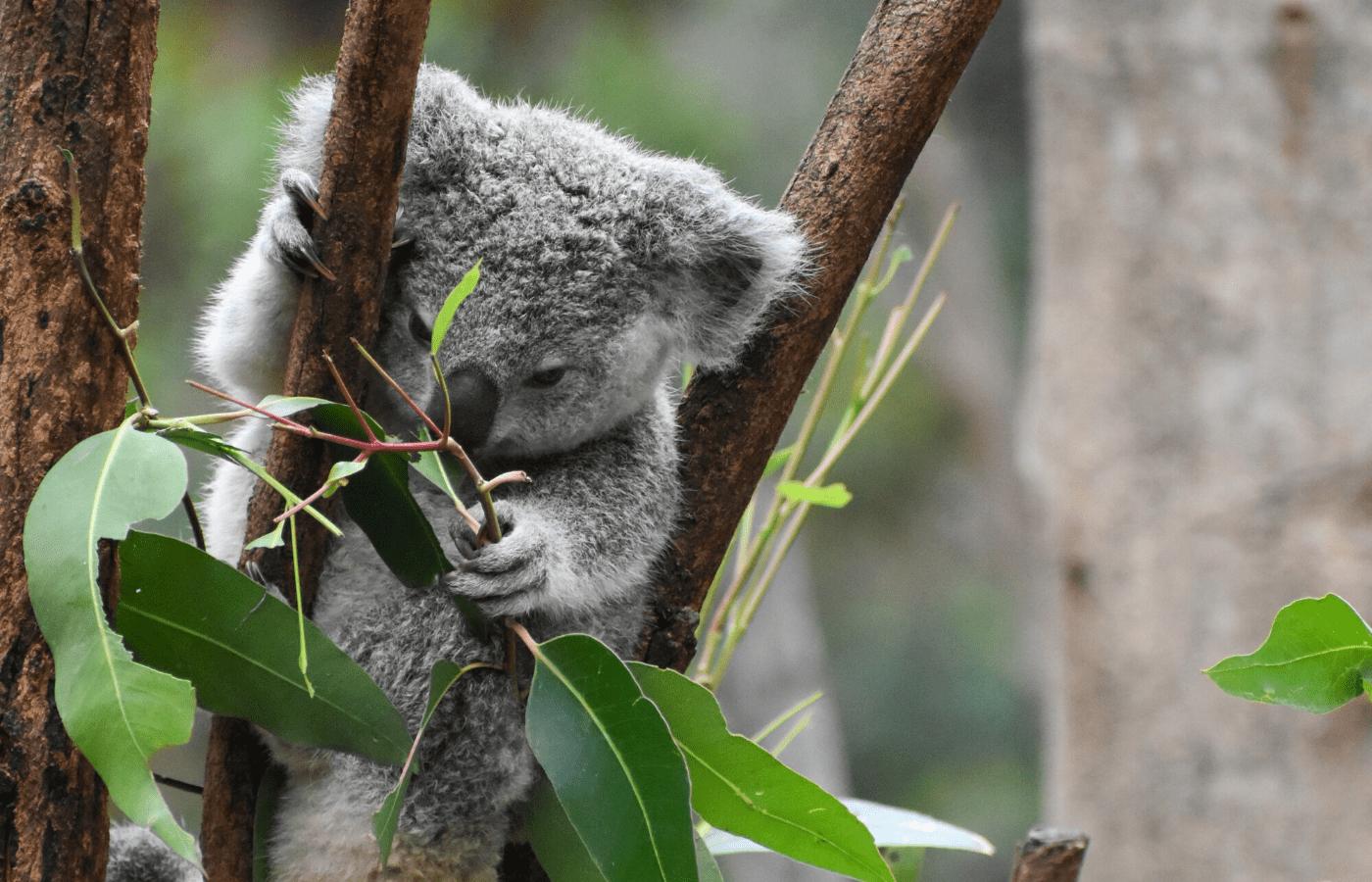 koala on tree | animal livestreams
