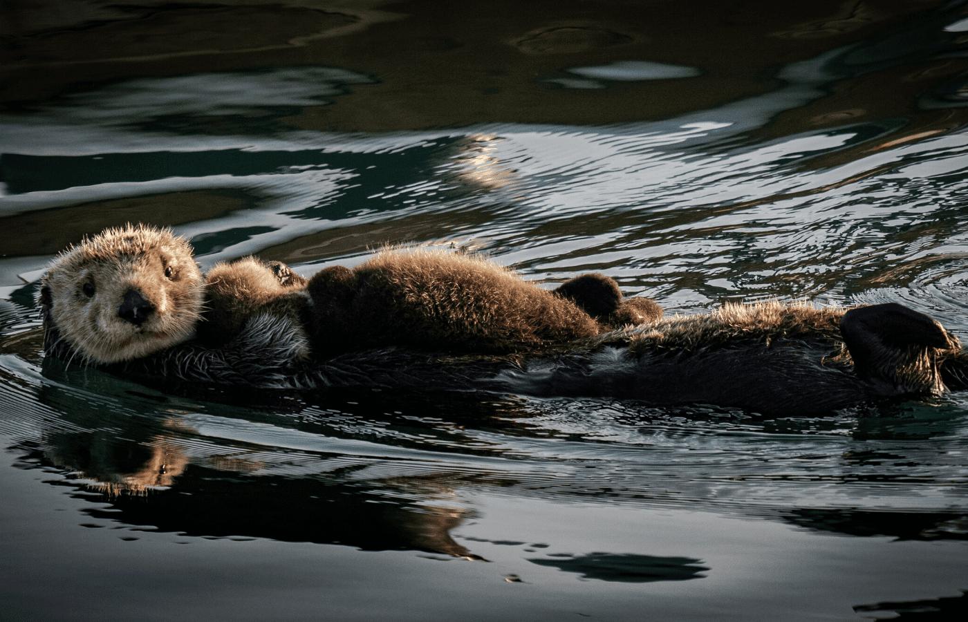 otters swimming | animal livestreams