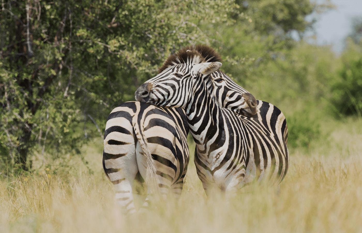 zebras | animal livestreams