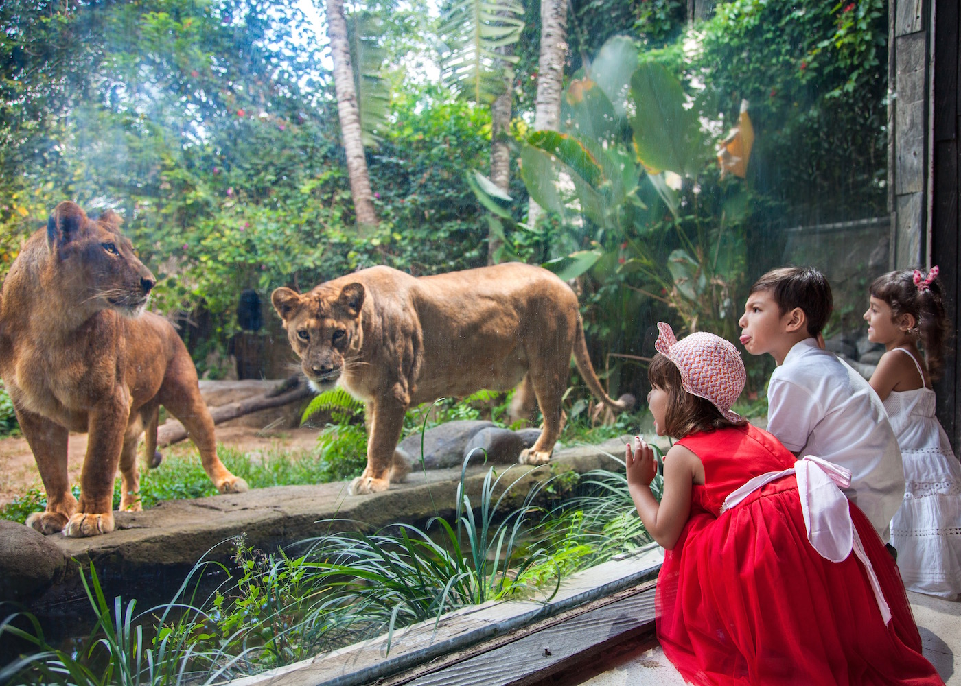 Kids meeting lions at Bali Zoo in Gianyar (near Ubud) in Bali, Indonesia