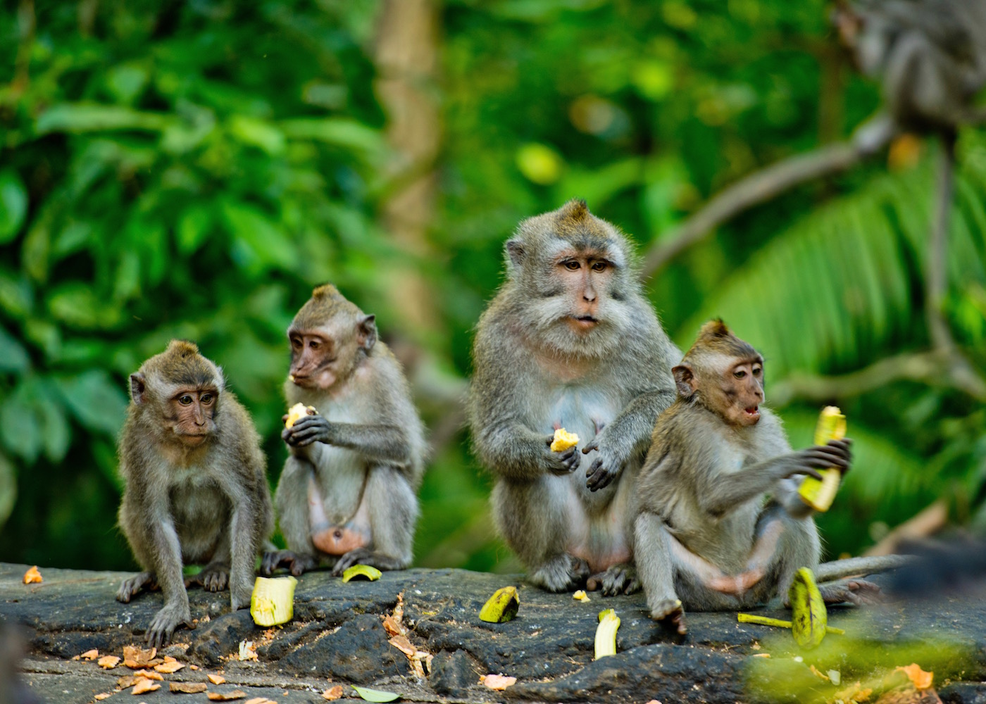 Family of monkeys in the Ubud Monkey Forest in Bali, Indonesia