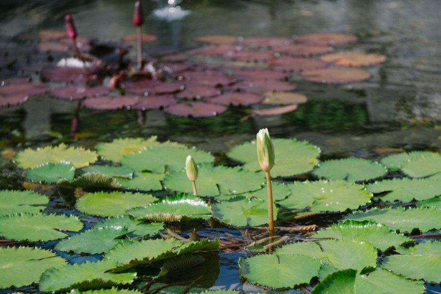 Chi Lin Nunnery Nan Lian Garden lotus