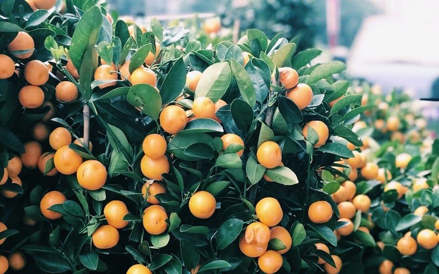 chinese new year decorations symbolism kumquat tree