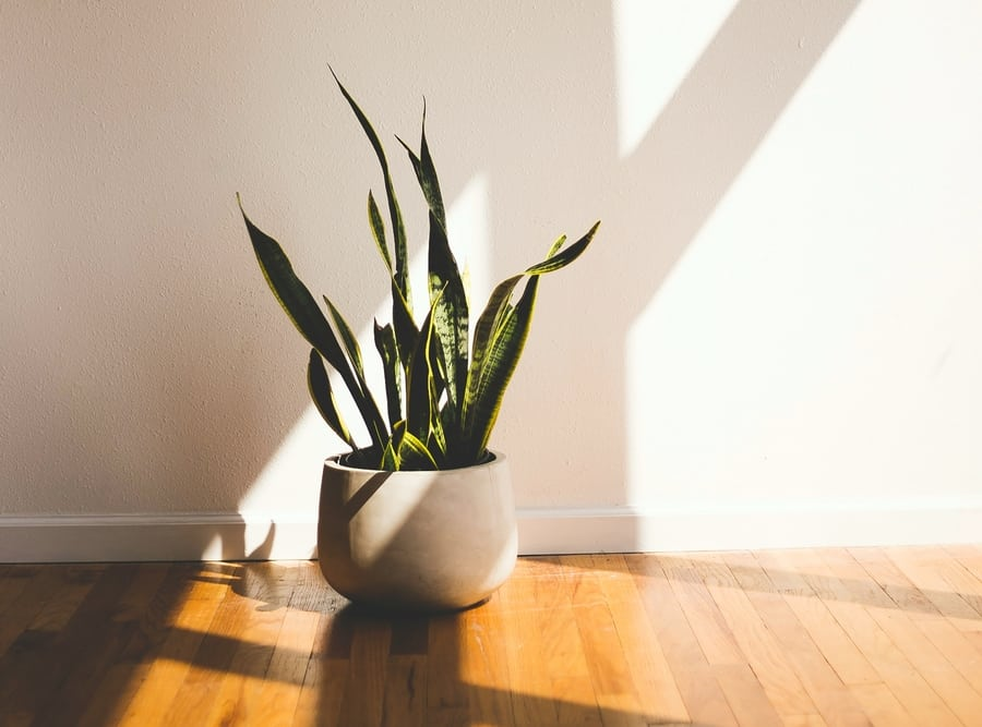 indoor plants for Hong Kong apartments snake plants