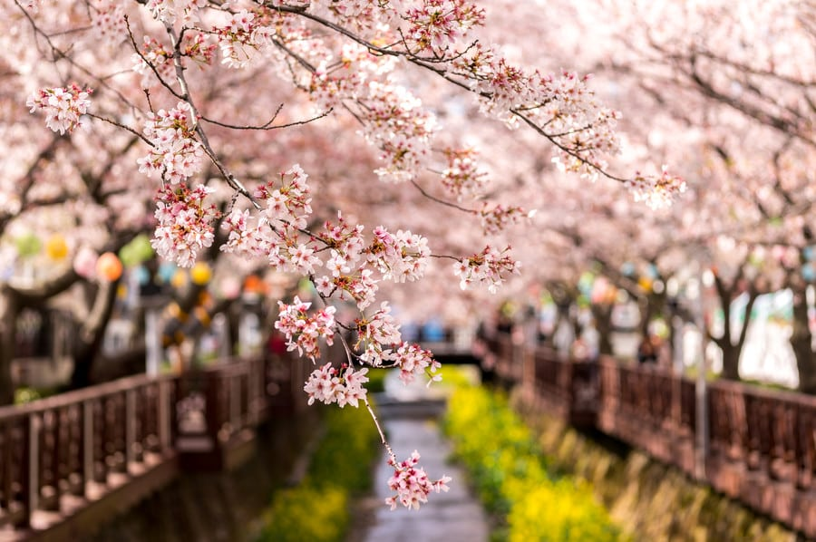 festivals in South korea Jinhae Cherry Blossom festival