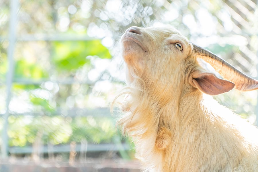Holiday Farm Sheung Shui nature animals goats