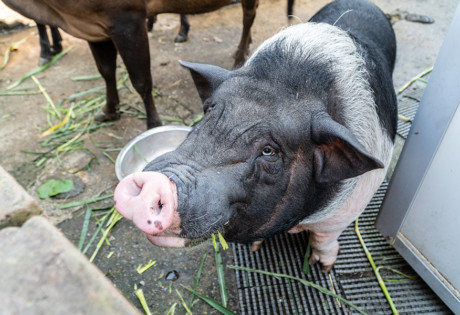 Holiday Farm Sheung Shui nature animals pigs mcmug