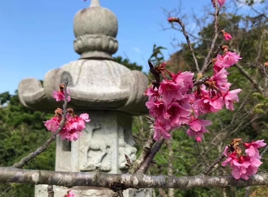 guide to Okinawa cherry blossom Nago